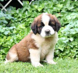AKC St. Bernard puppies for sale