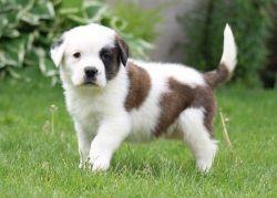 Nice and Healthy Saint Bernard Puppies