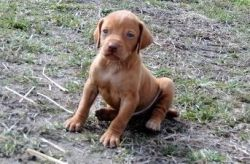 Vizsla Puppy for Sale Text Only Via xxx-xxx-xxxx