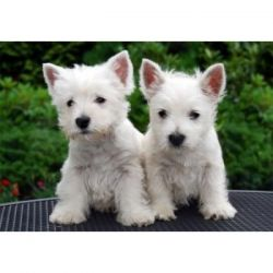 Gorgeous West Highland White Terrier Puppies M/F Affectionate