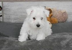Playful West Highland White Terrier Puppies.