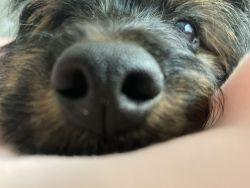 Yorkiepoo puppy!!