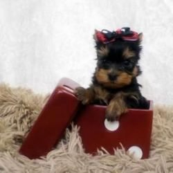 Yorkies Puppies available