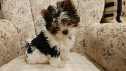Yorkshire Terrier Puppies For Rehoming