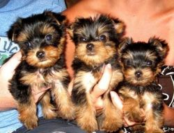 Cute male and female Yorkshire Terrier puppies for sale.