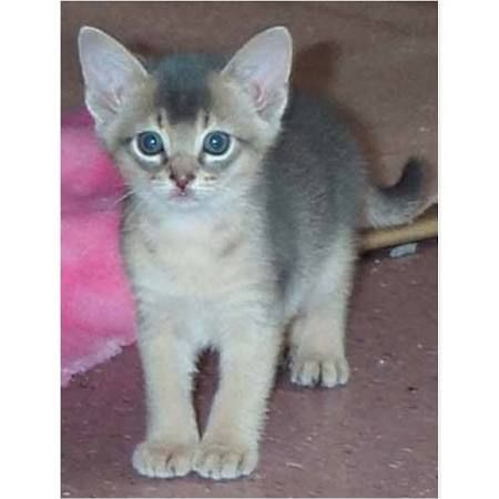 Abyssinian Cats for sale in U CA-99, Biggs, CA 95917, USA. price 200USD