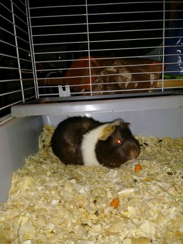 Abyssinian Guinea Pig Rodents for sale in Melrose Park, IL, USA. price 60USD