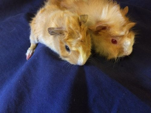 Abyssinian Guinea Pig Rodents for sale in Dayton, OH, USA. price 35USD