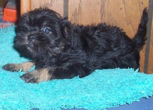 Affenpinscher Puppies for sale in Fresno, CA, USA. price 600USD