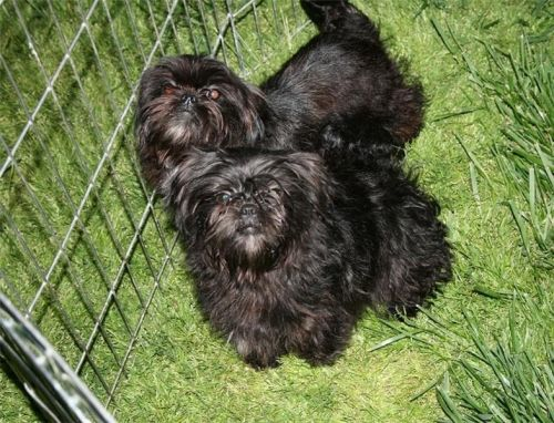 Affenpinscher Puppies for sale in California St, San Francisco, CA, USA. price -USD