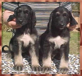 Afghan Hound Puppies for sale in Indianapolis, IN, USA. price -USD