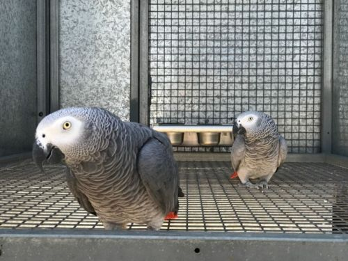 African Grey Birds for sale in Alexandria, VA 22312, USA. price 700USD