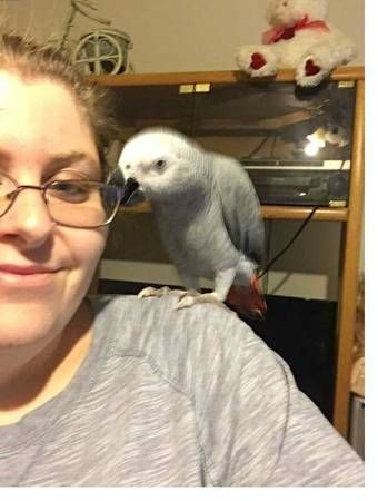 African Grey Birds for sale in Paxton, IL 60957, USA. price -USD
