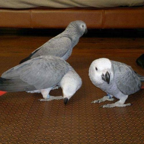 African Grey Birds for sale in 4th Ave, Seattle, WA 98101, USA. price 650USD