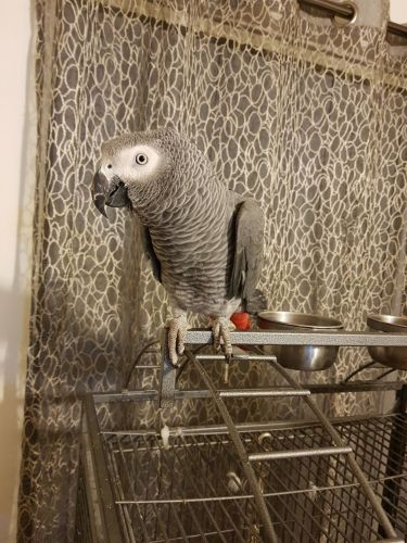 African Grey Birds for sale in New York, IA 50238, USA. price 250USD