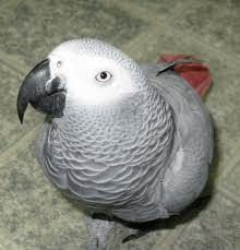 African Grey Birds for sale in Los Angeles, CA, USA. price 700USD