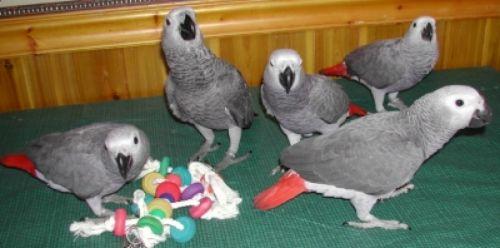 Cockatoo Birds Sale   Evans, GA #1879   Hoobly US