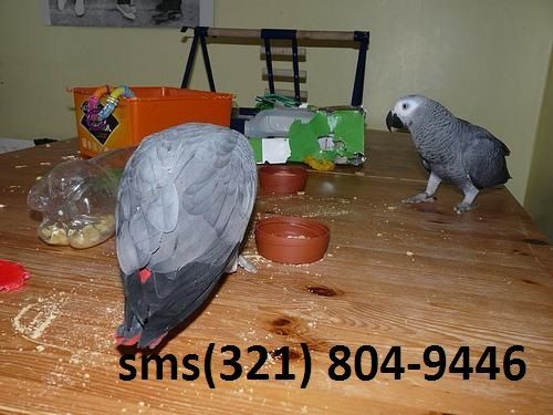 African Grey Birds for sale in Norfolk, VA, USA. price 250USD