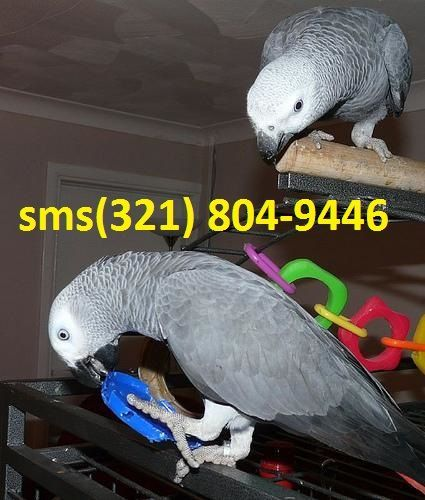 African Grey Birds for sale in Minneapolis, MN, USA. price 250USD