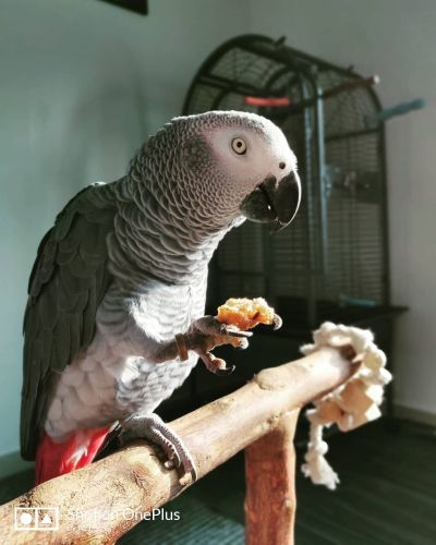 African Grey Birds for sale in Chicago, IL 60623, USA. price 1500USD