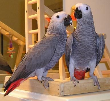African Grey Birds for sale in Boston Ave, Medford, MA 02155, USA. price 400USD