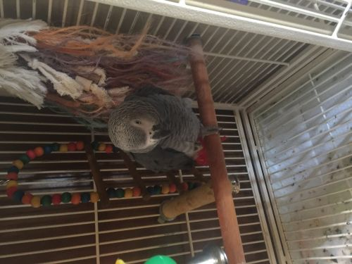 African Grey Birds for sale in Lake Charles, LA, USA. price 2000USD