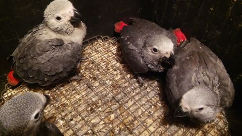 African Grey Parrot Birds for sale in Providence, RI 02910, USA. price 600USD