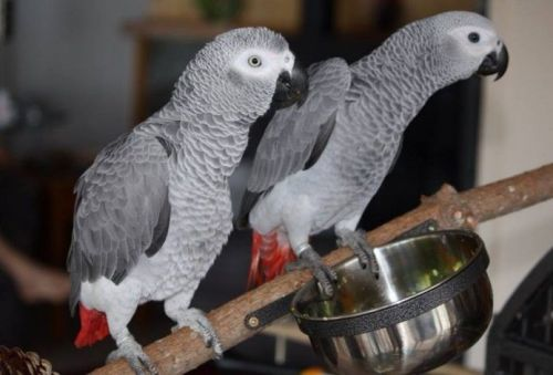 African Grey Parrot Sale United States | Hoobly US