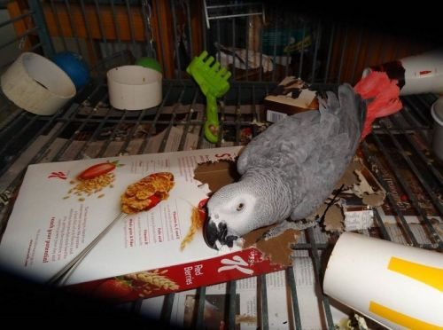 African Grey Parrot Birds for sale in Topeka, KS, USA. price 650USD