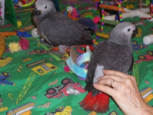 African Grey Parrot Birds for sale in Colorado Springs, CO, USA. price 1000USD