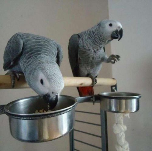 African Grey Parrot Birds for sale in Denver, CO, USA. price 800USD