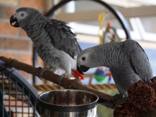 African Grey Parrot Birds for sale in Arizona Mills, Tempe, AZ 85282, USA. price -USD