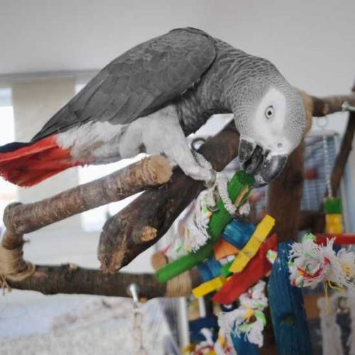 African Grey Parrot Birds for sale in Baltimore, MD, USA. price 250USD