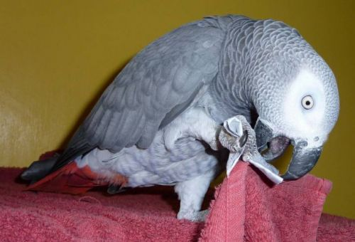 African Grey Parrot Birds for sale in IL-53, Itasca, IL, USA. price 300USD