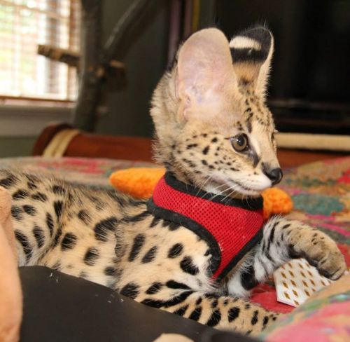 Exotic Cats For Sale In Dallas Tx
