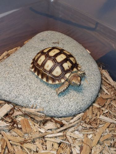 African Spurred Tortoise Reptiles for sale in Findlay, OH 45840, USA. price 150USD