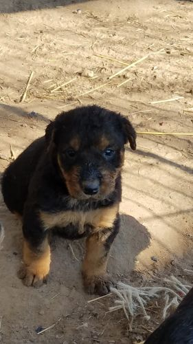 Airedale Terrier Puppies for sale in Gore, OK 74435, USA. price 800USD