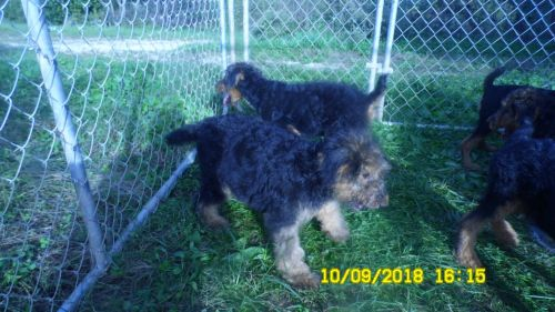 Airedale Terrier Puppies for sale in Olive Hill, KY 41164, USA. price 500USD