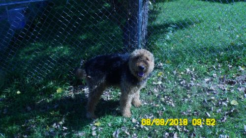 Airedale Terrier Puppies for sale in Olive Hill, KY 41164, USA. price 250USD