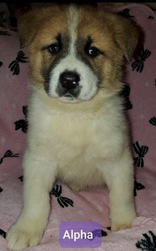 Akita Puppies for sale in Delta Junction, AK, USA. price 1400USD