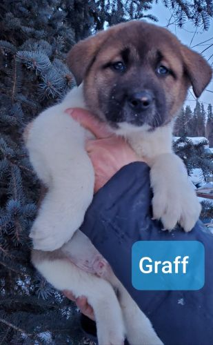 Akita Puppies for sale in Delta Junction, AK, USA. price 1500USD