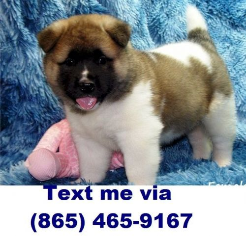 Akita Puppies for sale in Colorado Springs, CO, USA. price 500USD