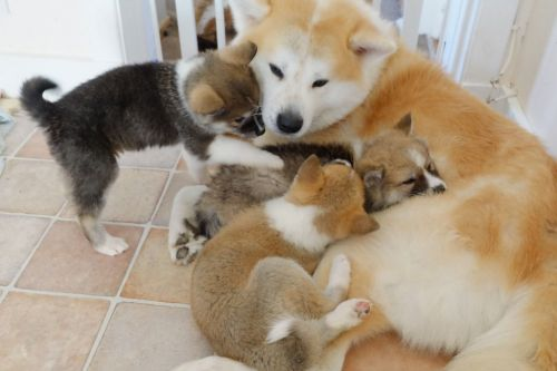 Akita Inu Puppies for sale in Austin, TX, USA. price -USD