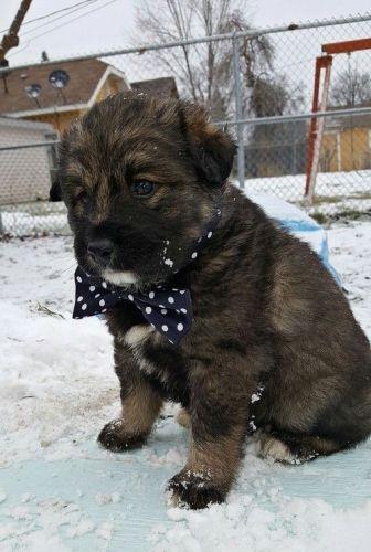 Alaskan Husky Puppies for sale in Fresno, CA, USA. price 600USD