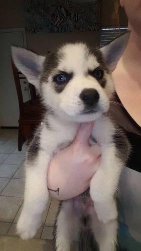 Alaskan Husky Puppies for sale in Surprise, AZ 85374, USA. price 400USD