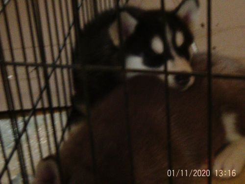 Alaskan Husky Puppies for sale in Anderson, SC, USA. price 650USD