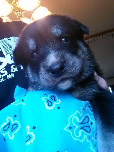 Alaskan Husky Puppies for sale in New Auburn, MN, USA. price 500USD