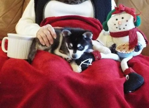Alaskan Klee Kai Puppies for sale in Fresno, CA, USA. price 600USD