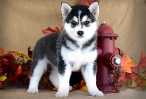 Alaskan Klee Kai Puppies for sale in San Francisco, CA 94158, USA. price 500USD