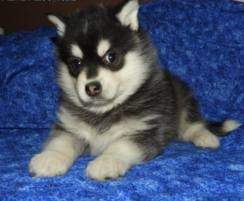 Alaskan Klee Kai Puppies for sale in Santo Domingo Pueblo, San Felipe Pueblo, NM, USA. price 500USD